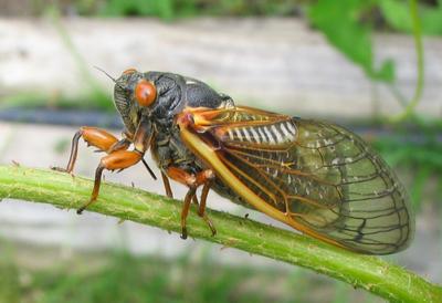 A_nasty_cicada