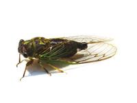 Cicada_cut_out